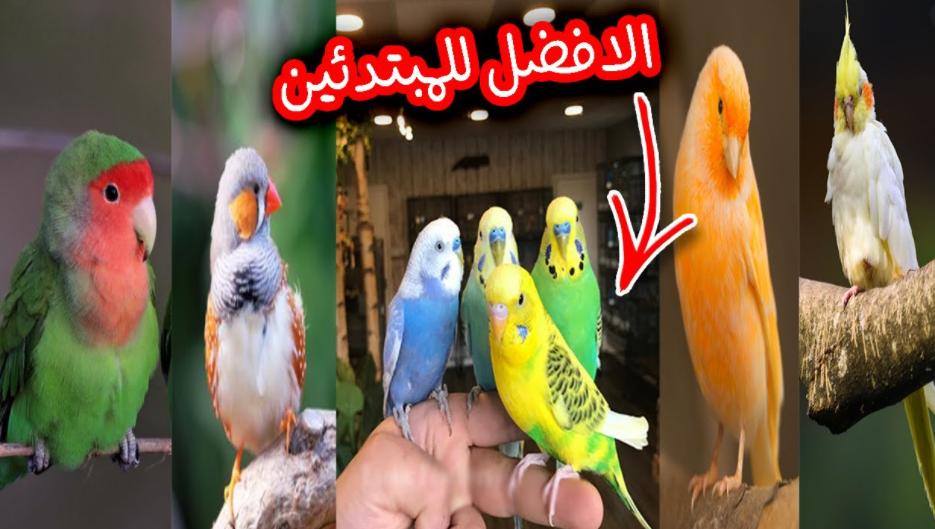 مشروع تربية عصافير الزينه للمبتدئين