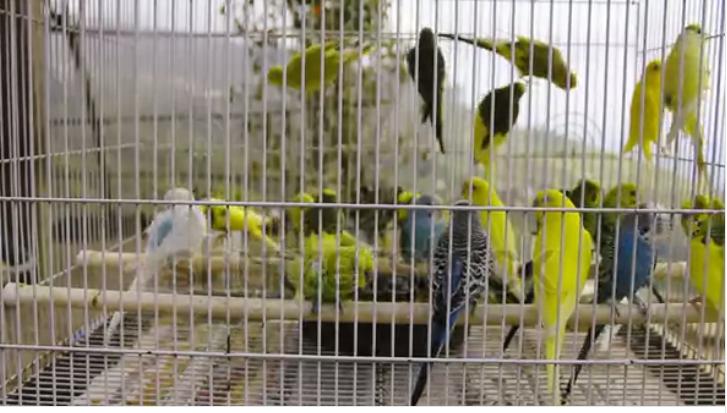 مشروع تربية عصافير الزينه